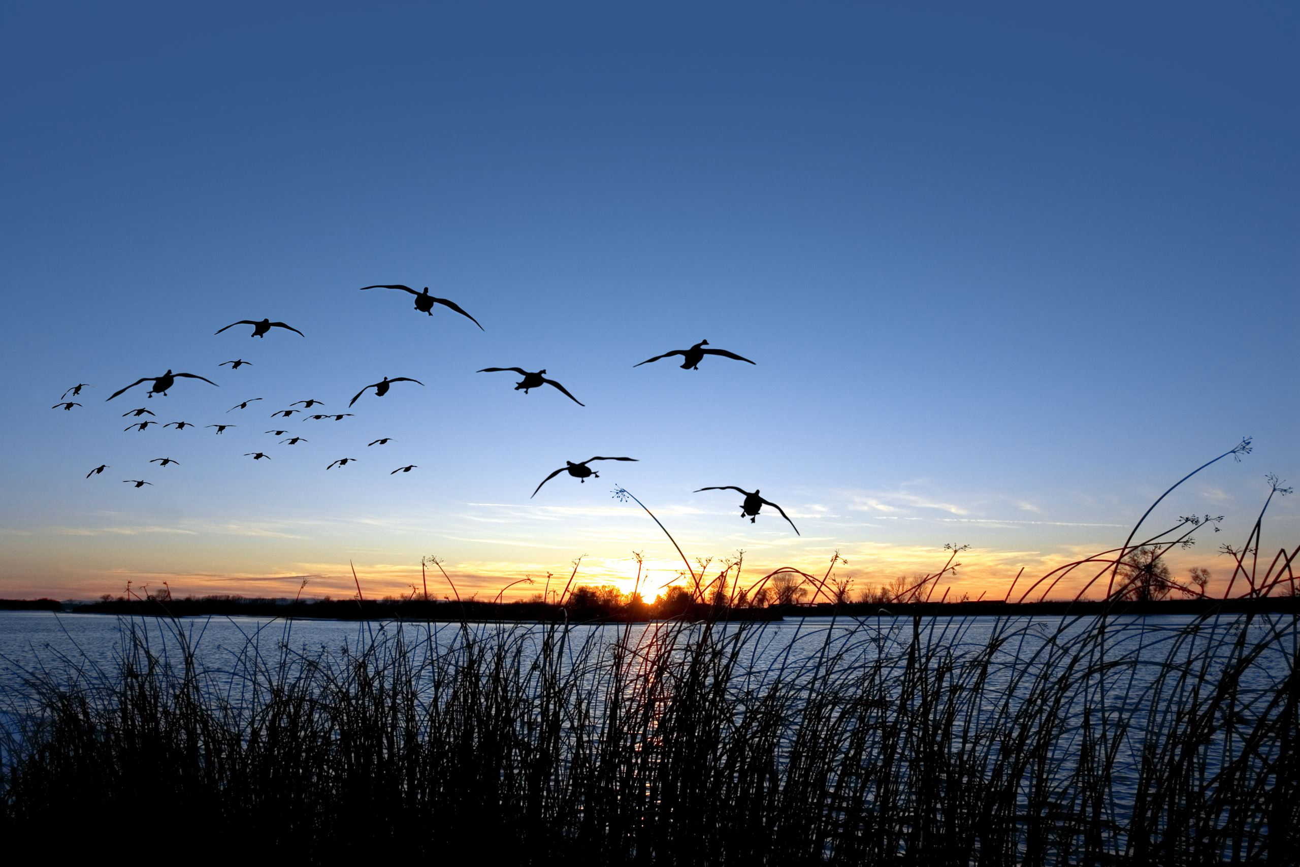 flying geese over lake